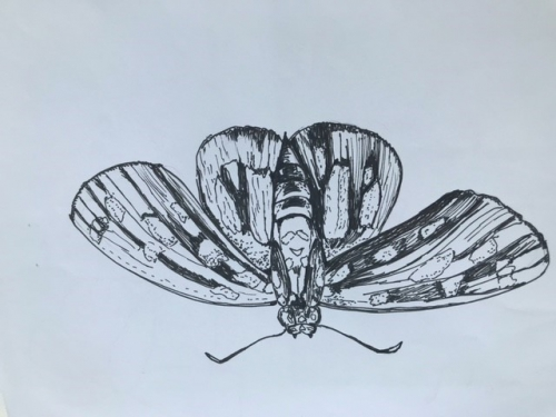Line drawing of a moth